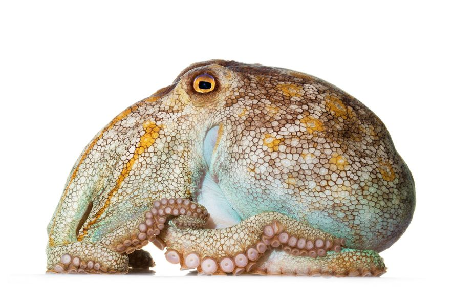 Stocky, with a large body and shortish arms, the pale octopus (Octopus pallidus) lives in the ...
