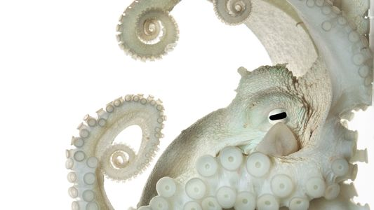 Why Do Octopuses Remind Us So Much of Ourselves?