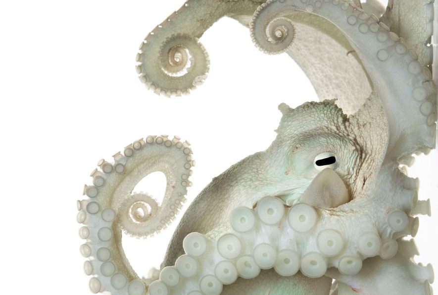 Pictures: Why Do Octopuses Remind Us So Much of Ourselves?