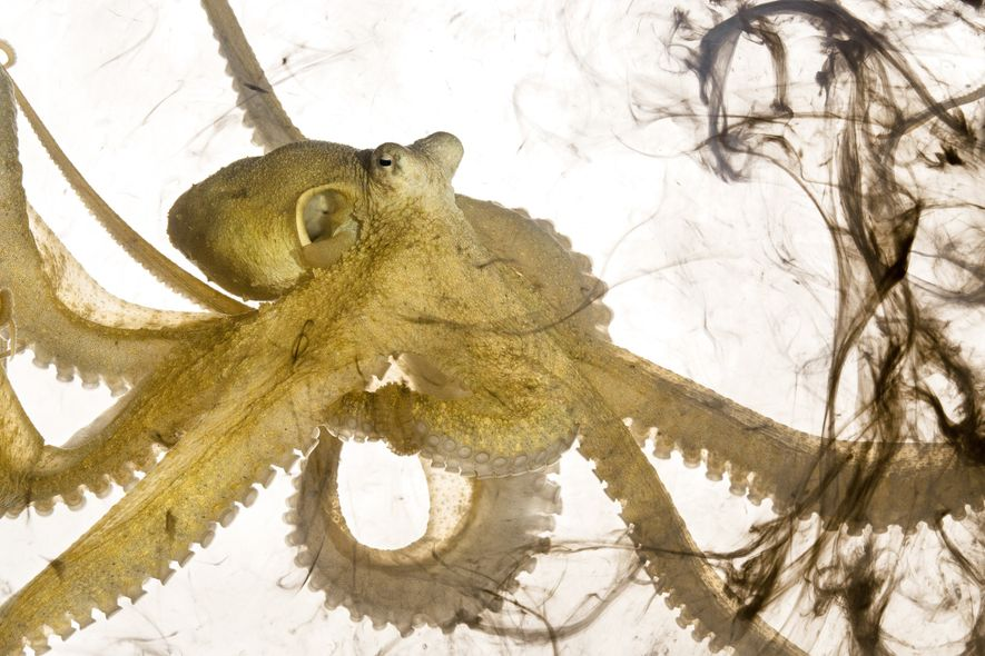 This algae octopus, Abdopus aculeatus, has just inked. Octopuses release ink when they feel threatened; the ...