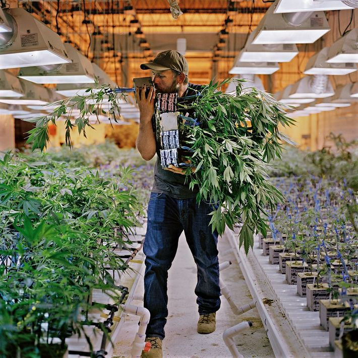 Phillip Hague, the chief horticulturist at a Denver cannabis company called Mindful, sniffs the roots of ...