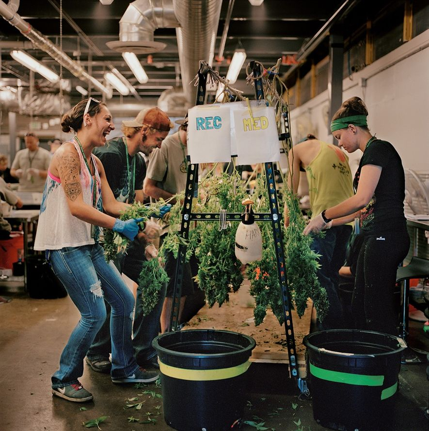 At Denver's LivWell, which has an enormous indoor growing operation, workers remove marijuana leaves before the ...
