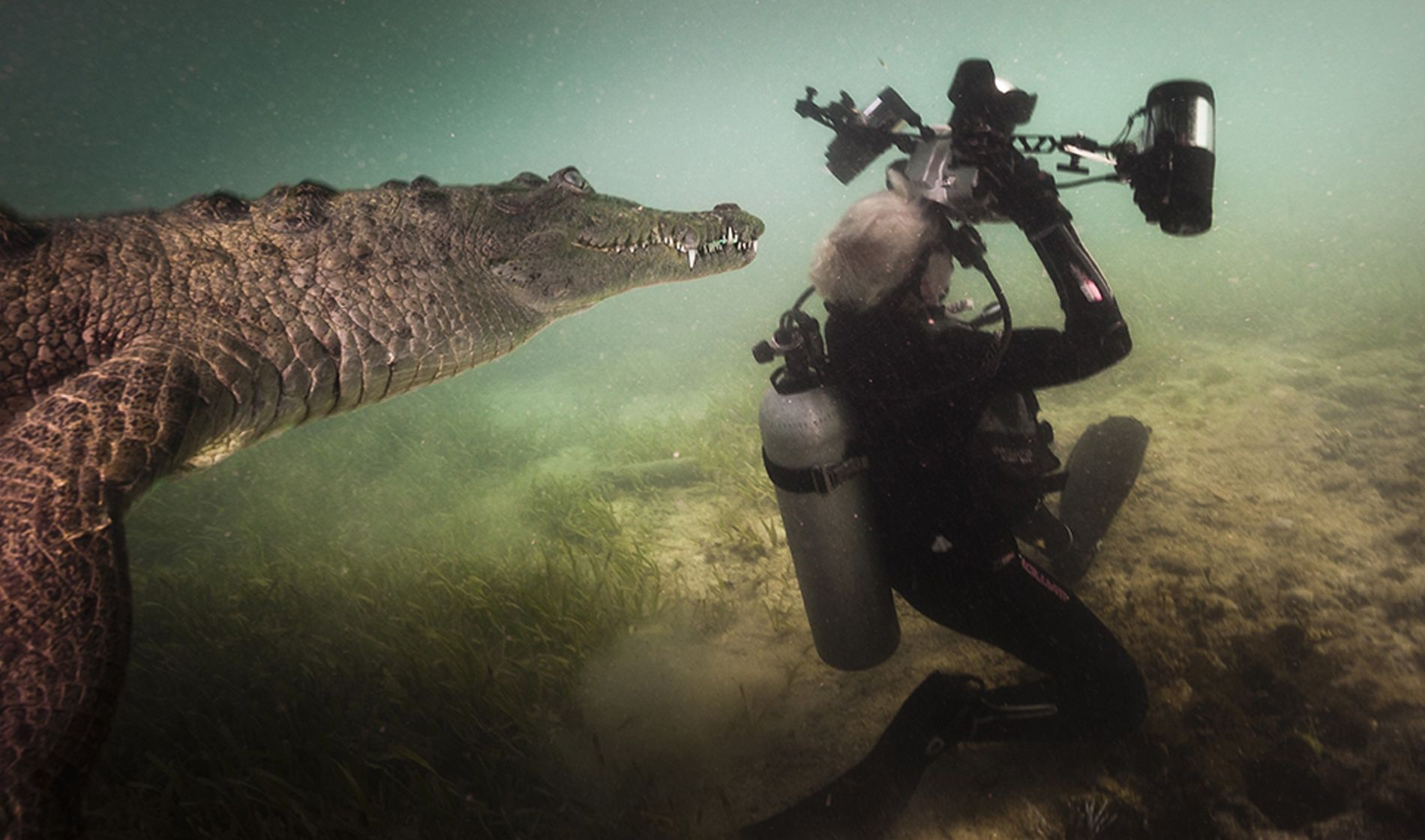 Photographer Jennifer Hayes is visited by a curious crocodile while photographing in the mangroves of the ...