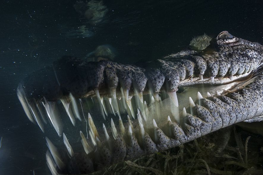 The American crocodile lives in the dense mangroves within the Gardens of the Queen, National Marine ...