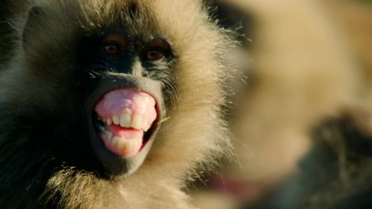 Monkey Fight: Old Male Battles Young Bachelor For Supremacy
