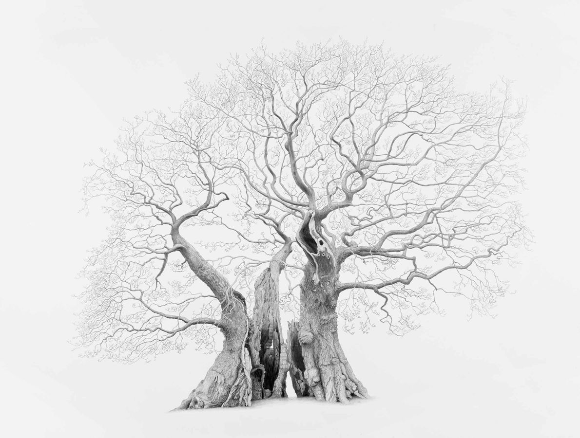 The Marton Oak, Marton, Cheshire. Ravaged by time, this tree is a contender for the largest ...
