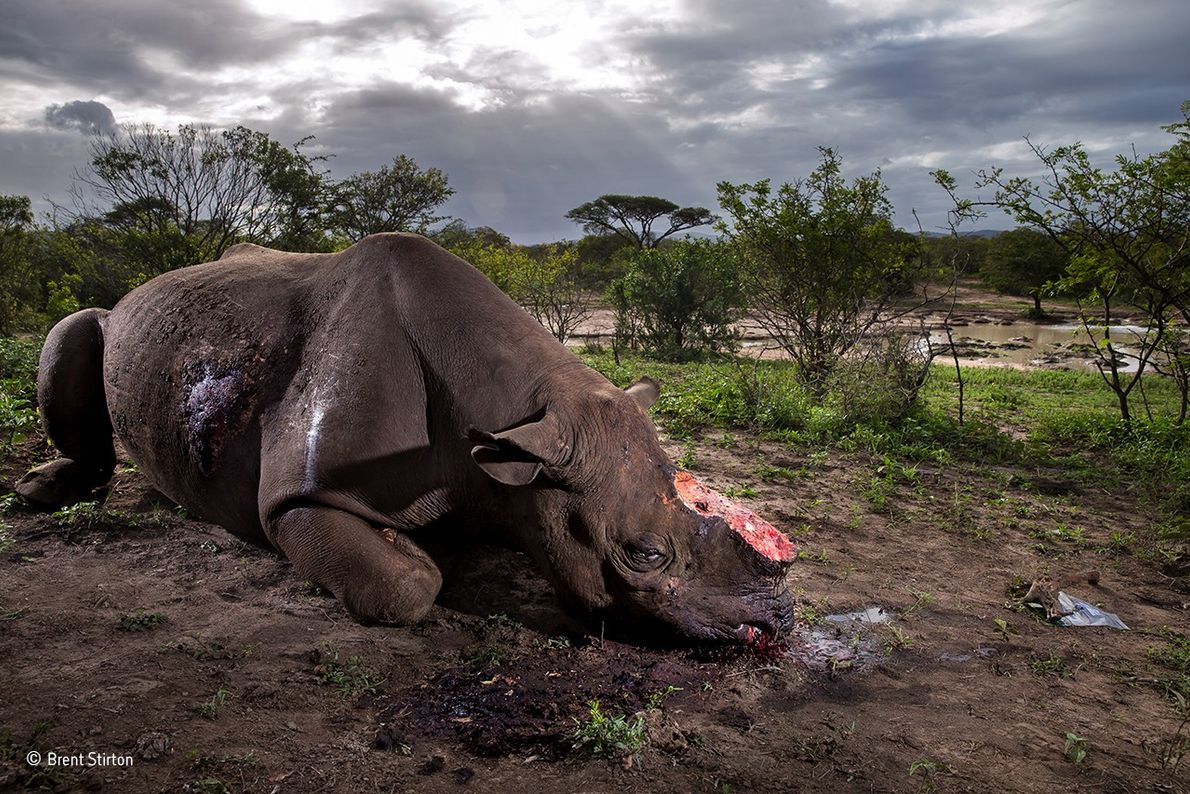 The poachers of this black rhino bull were probably from a local community but working to ...