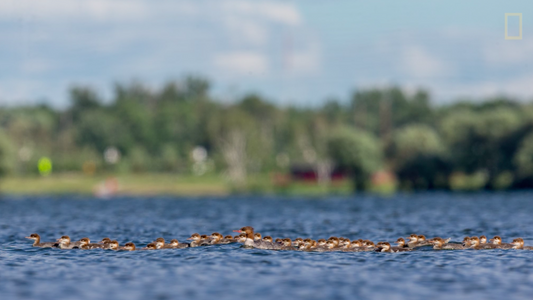Video: How One Mother Duck Can Raise 76 Ducklings