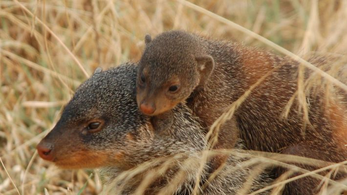 These Mongoose Mentors Are Teaching Pups Survival Skills