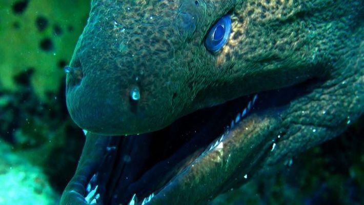 Moray eels, the Shark hunter