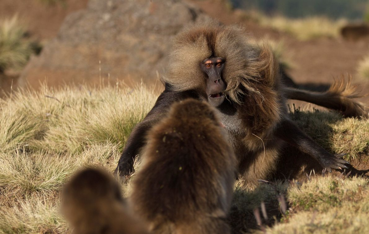 Ethiopia - Geladas. Male geladas often come into conflict with other males. The disputes are often ...