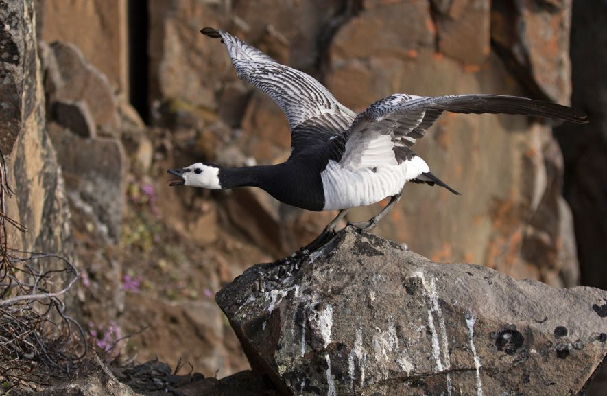 Barnacle Goose, Greenland. Barnacle geese nest on 400 foot-high cliffs as protection from predators. However, these ...