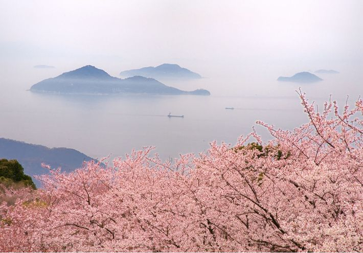 Cherry Blossoms, Mt Shiude, Kagawa