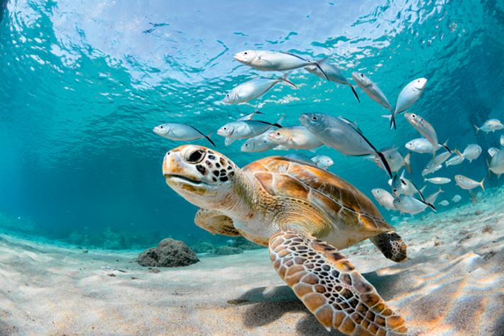 Turtle and fish swimming off the coast of Guadeloupe