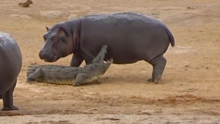 Young hippo tries to play with crocodile