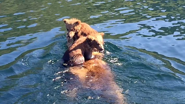 Adorable bear cubs hitch a ride on mum's back