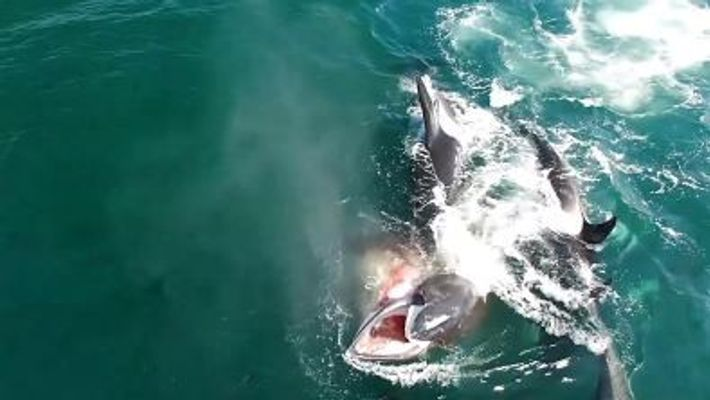 Orcas hunt a whale in rare video