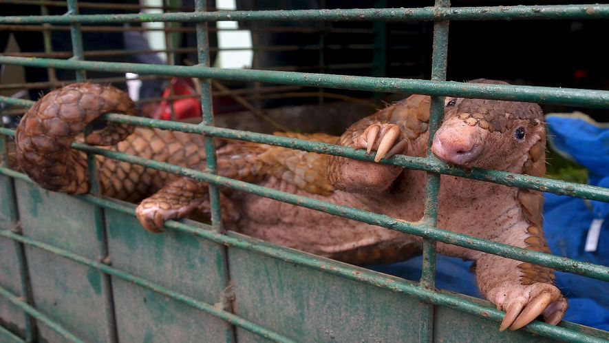 Watch: 101 Pangolins Destined for Black Market Rescued from Fishing Boat