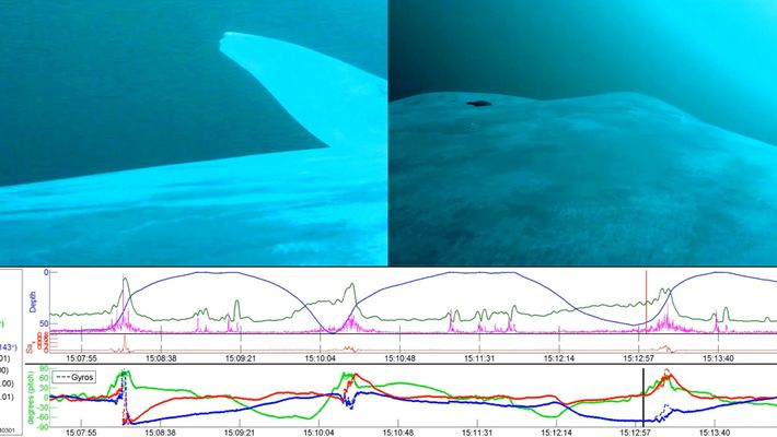 Blue Whales Are Mostly 'Left-Handed'