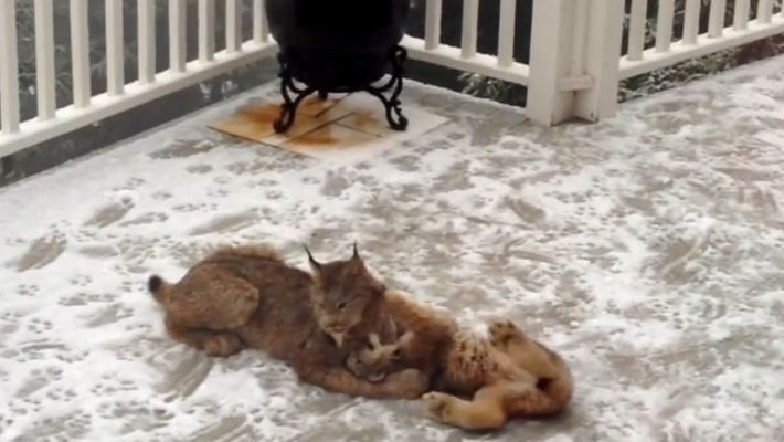 New Video Reveals Lynx Mother and Kittens Frolicking in Snow