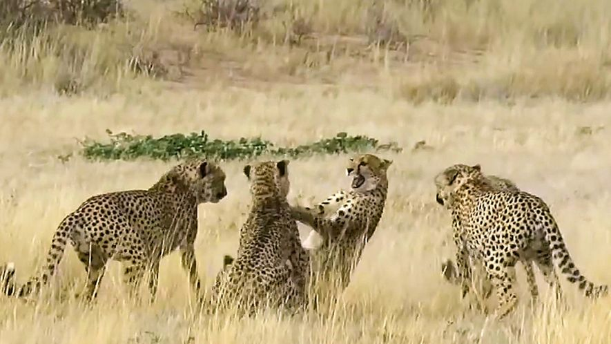 Watch Female Cheetah Fight Four Males in Brutal Courtship