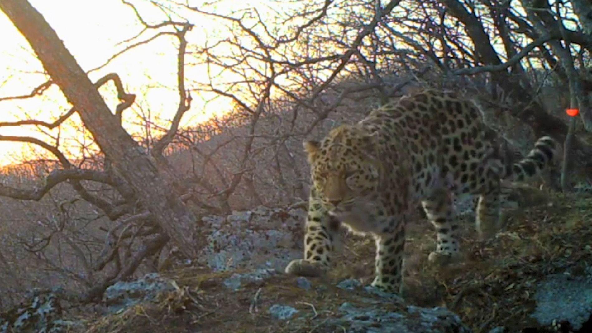 Amur Leopard Vocalisation