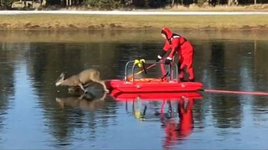 Firefighter Saves Deer Stranded on Slippery Ice