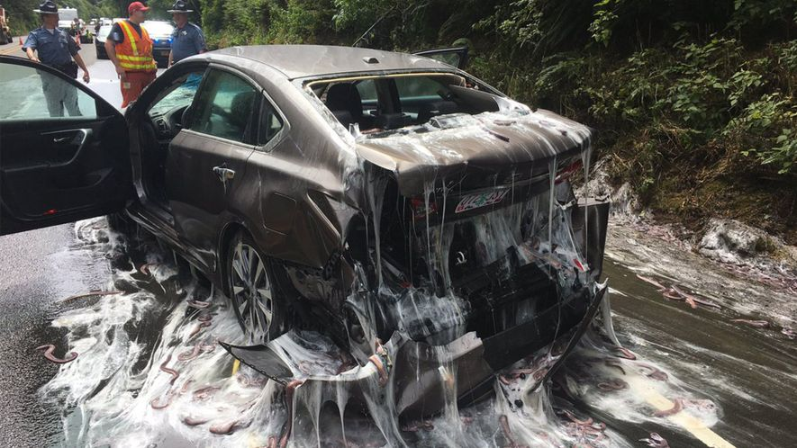 'Slime Eels' Release Mucus On Oregon Highway