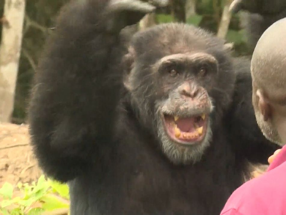 See How the Last Chimp on Chimpanzee Island Survives
