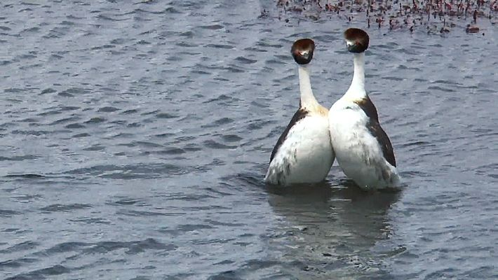 """These hooded grebes were found """"Dancing"""" in Patagonia."""