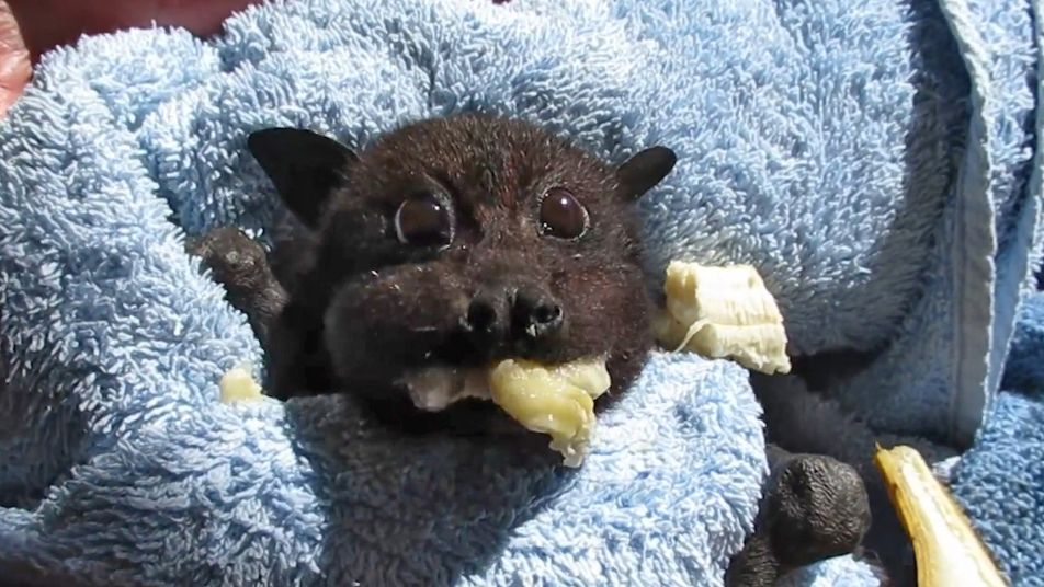 Rescued Baby Bat Stuffs Her Cheeks With Banana