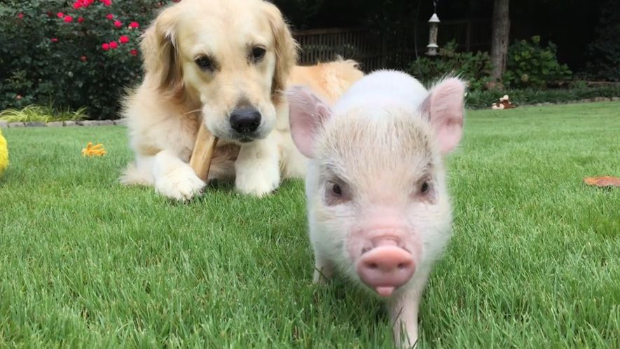 The Pig and Dog Who Became Best Friends