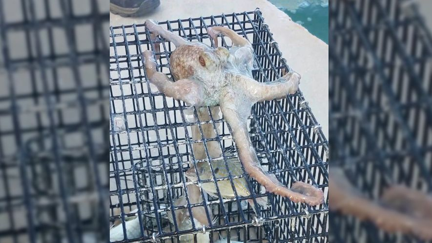 Sneaky Octopus Tries to Steal Dinner From a Fisherman