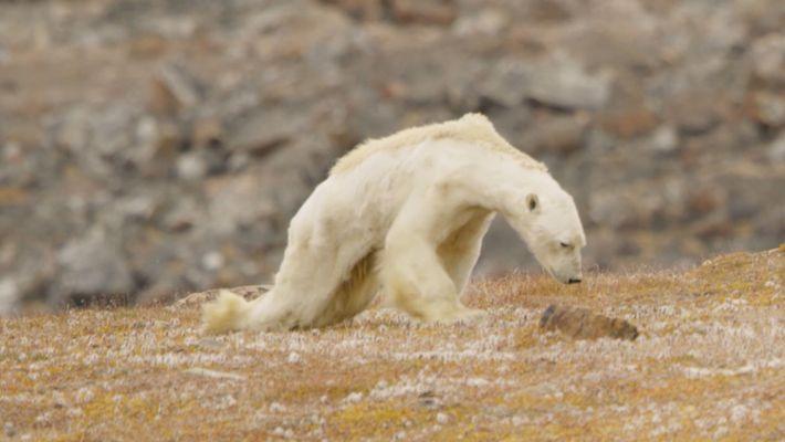 Heart-Wrenching Video: Starving Polar Bear on Iceless Land