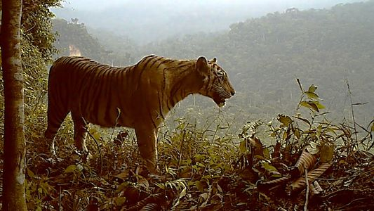 Watch: Extremely Endangered Tiger Losing Habitat—and Fast