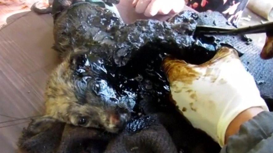 Three Puppies Get Stuck in Black Tar—Watch What Happens Next
