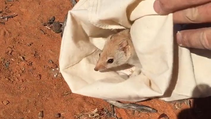 Watch: 'Extinct' Marsupial Rediscovered in Parts of Australia