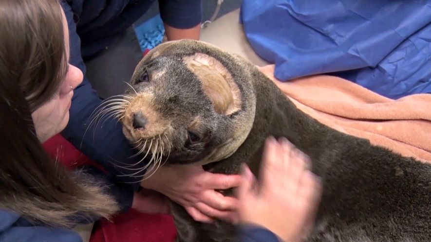 Brain Surgery Helps a Rescued Fur Seal