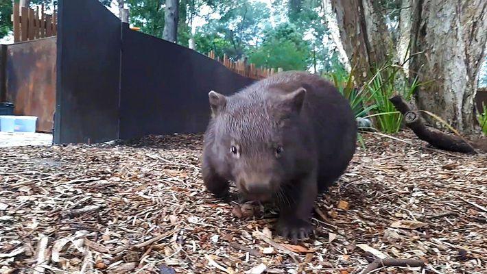 Cuddly Wombats Run Wild