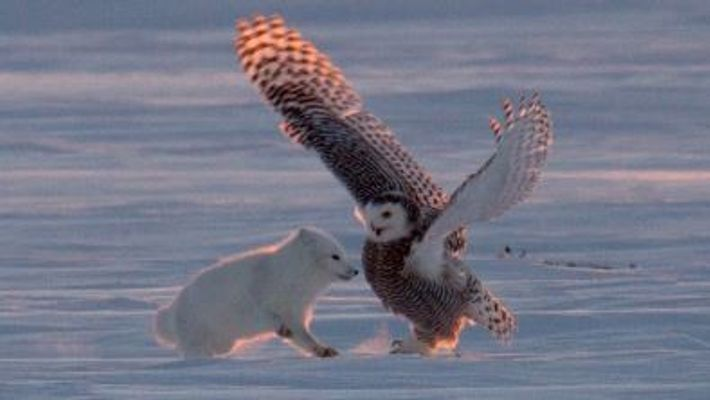 """Why Is This Arctic Fox 'Dancing"""" With a Snowy Owl?"""