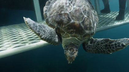 Green Sea Turtles Return to the Ocean After a Two-Year Recovery