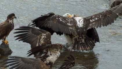 Bald Eagles' Food Fight Captured In Slow-Motion
