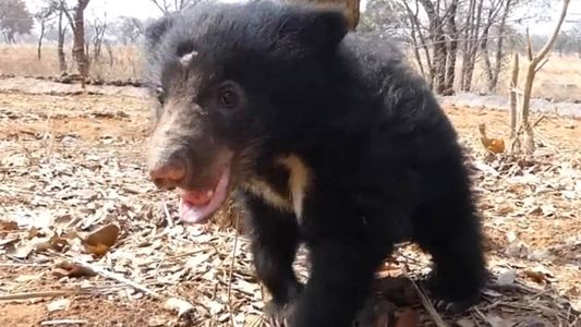 Orphaned Sloth Bear Cub Is Playful and Healthy One Year After Rescue