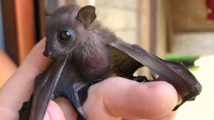 Watch Attempt to Save a Tiny Orphaned Fruit Bat