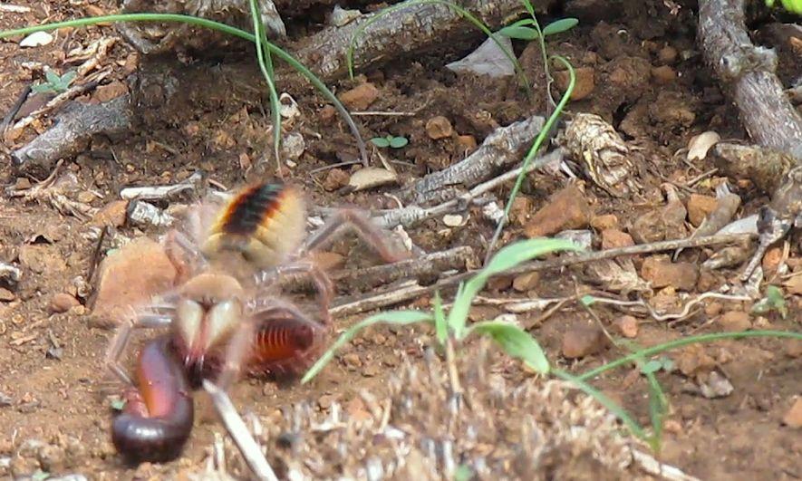Watch Camel Spider Capture, Kill Millipede at 'Warp Speed'