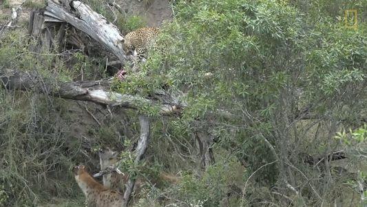 Hyenas Gang Up Against A Leopard