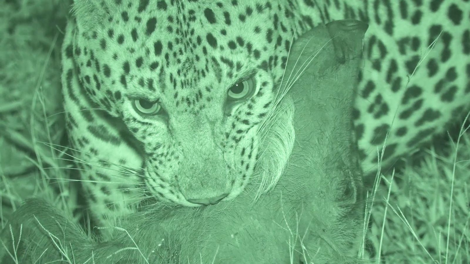 Watch a Leopard Pounce On an Unsuspecting Warthog