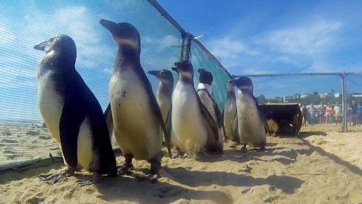 Watch Rescued Penguins Waddle Their Way to Freedom
