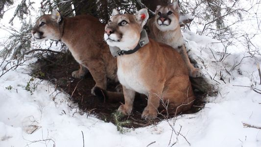 Watch: How Mountain Lion Mothers Care for Their Kittens