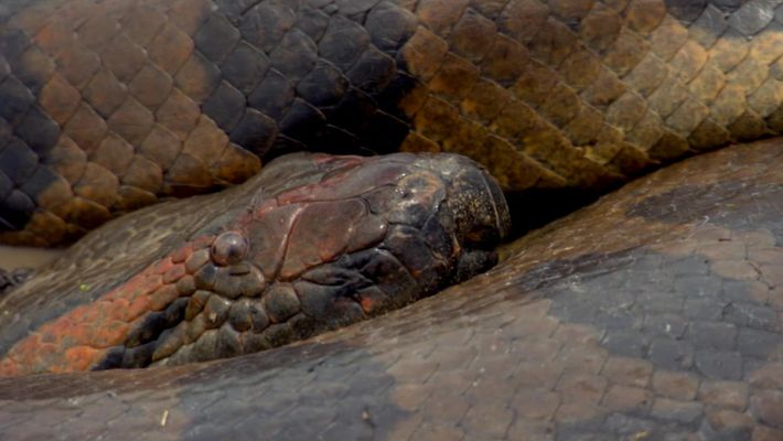Anacondas explained: how these snakes become the world's largest